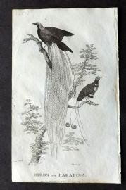 Goldsmith C1815 Antique Bird Print. Birds of Paradise